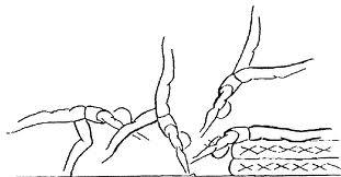 courbette-dorsale.jpg